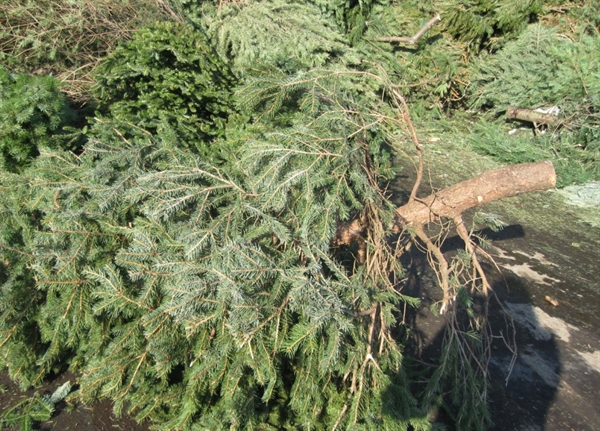 Christmas Tree Collection Schedule