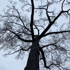 Large Oak Tree to be Removed