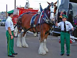 Budweiser Clydesdales Parading in Allentown